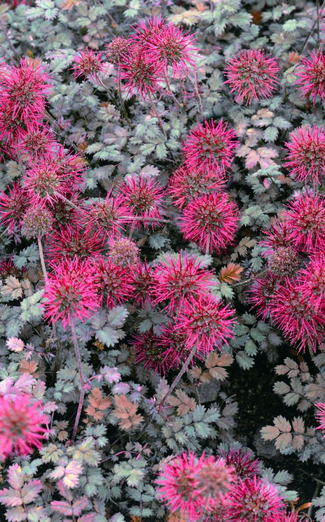 Acaena Microphylla Kupferteppich Armlee Nurseries